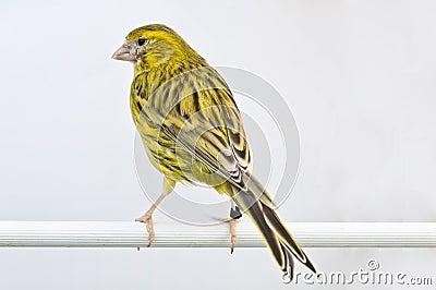 Common canary