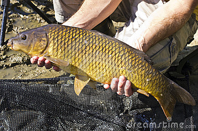 Common Carp fish