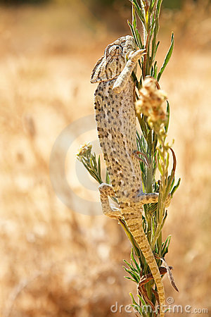 Free Common Chameleon In The Wild Stock Photography - 17743772