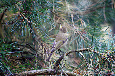 Common Chiffchaff Bird