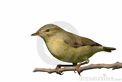 Common Chiffchaff isolated on white background phy