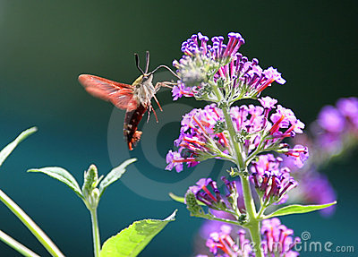 Common Clearwing (Hummingbird Sphinx Moth)