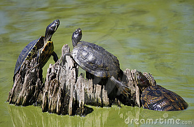 Common Cooter Turtles Sunning Themselves