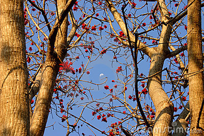 Common coral tree