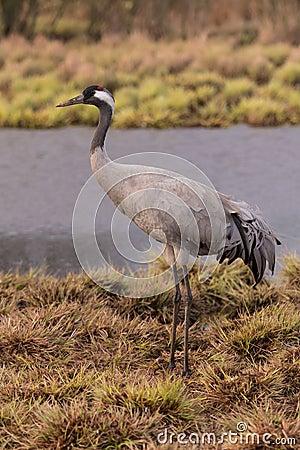 Free Common Crane Royalty Free Stock Photos - 70034668