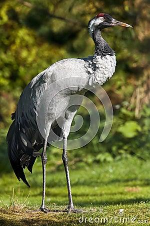 Free Common Crane (Grus Grus) Stock Image - 20940871