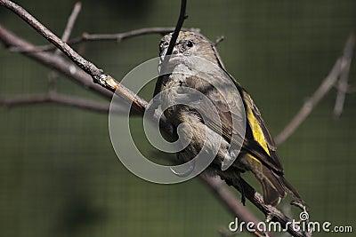 Common crossbill female