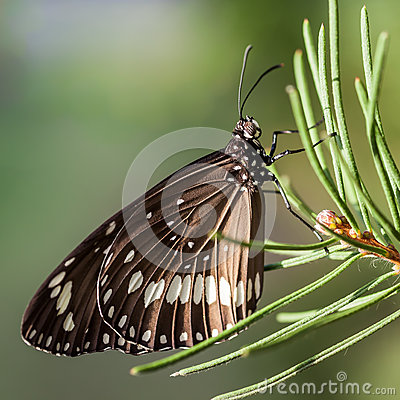 Free Common Crow Butterfly On A Conifer Branch Stock Photos - 37020033