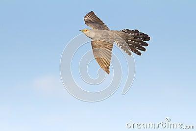 Common Cuckoo in flight / Cuculus canorus