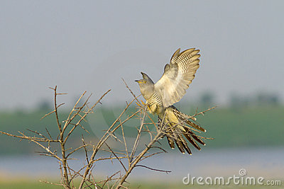 Common Cuckoo landing on the bush / Cuculus canoru