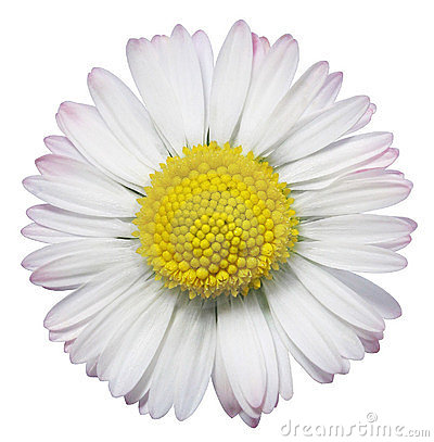 Common Daisy flower