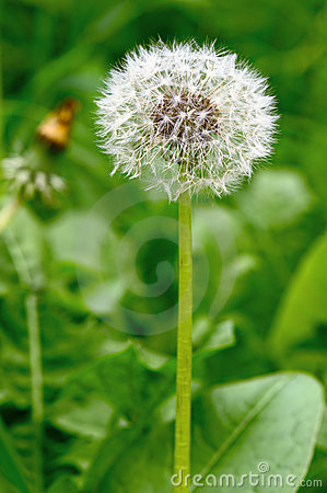 Common dandelion seed head.