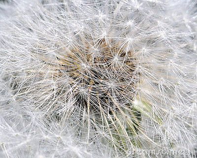 Common Dandelion Seeds