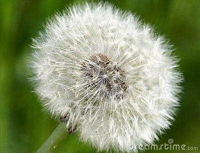 Common dandelion (Taraxum officinalis)