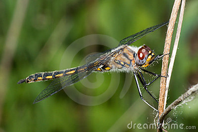 Common Darter Dragonfly standing on a Branch
