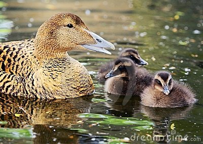 Common Eider with chickens