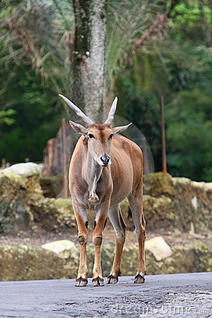 Free Common Eland Stock Image - 14708231