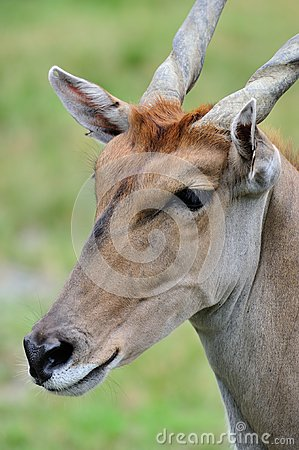 Common eland face