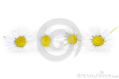 Common english lawn daisies studio shot