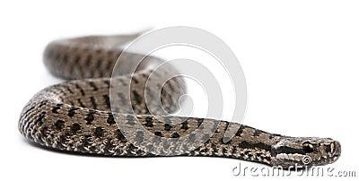 Common European adder or common European viper