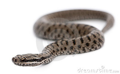 Common European adder or common European viper