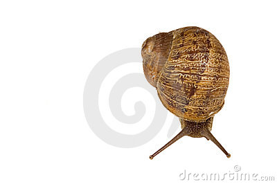Common European brown Snail
