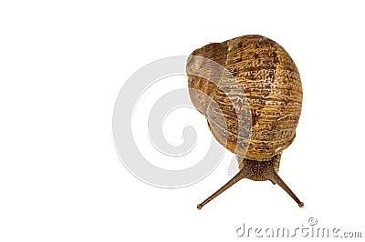 Common European brown Snail