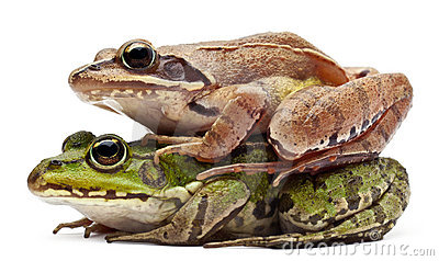 Common European frog or Edible Frog