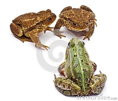 Common European frog or Edible Frog