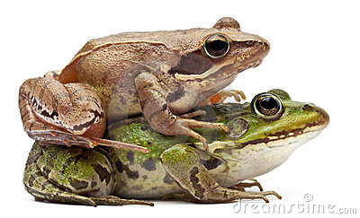 Common European frog or Edible Frog, Rana