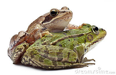 Common European frog or Edible Frog, Rana