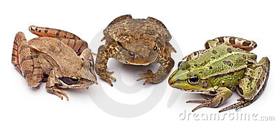 Common European frog or Edible Frog, Rana kl.