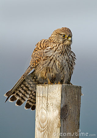 Common european Kestrel