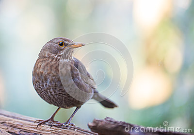Common female Blackbird close-up