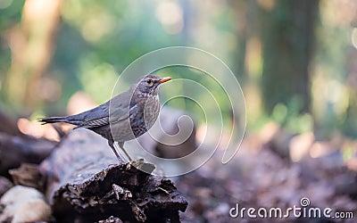 Common female Blackbird