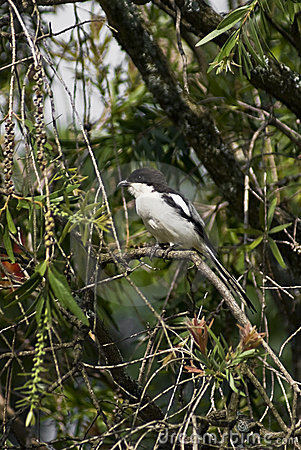 Common Fiscal Shrike