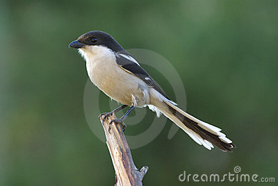 Common fiscal shrike lanius collaris