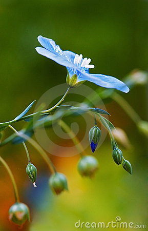Free Common Flax Flower Royalty Free Stock Image - 3313896