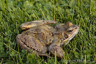 Common frog on grass