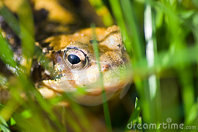 Common frog hiding in grass