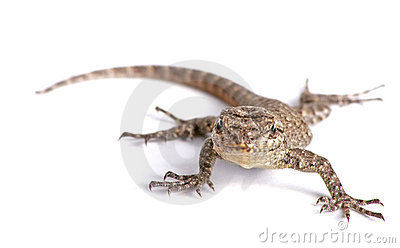 Common garden lizard isolated on white