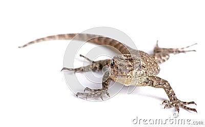 Common garden lizard isolated on white