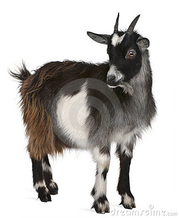 Free Common Goat From The West Of France Stock Photography - 18257882