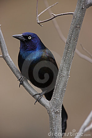Free Common Grackle On Branch Royalty Free Stock Image - 7379676