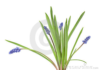 Common grape hyacinth (Muscari botryoides)
