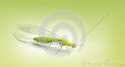 Common green lacewing, Chrysoperla carnea, on a green gradient