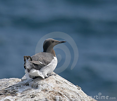 Common Guillemot on Inner Farne