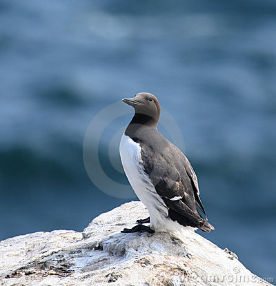 Free Common Guillemot Standing Royalty Free Stock Photos - 9239838