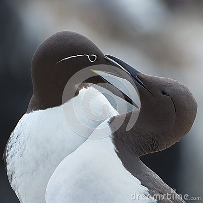 Free Common Guillemot,  Uria Aalge Stock Images - 31810154