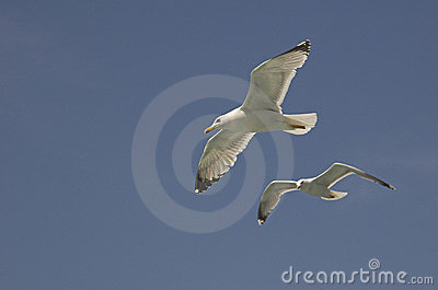 Common gulls
